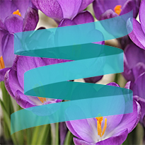 purple crocus with SpringServe logo